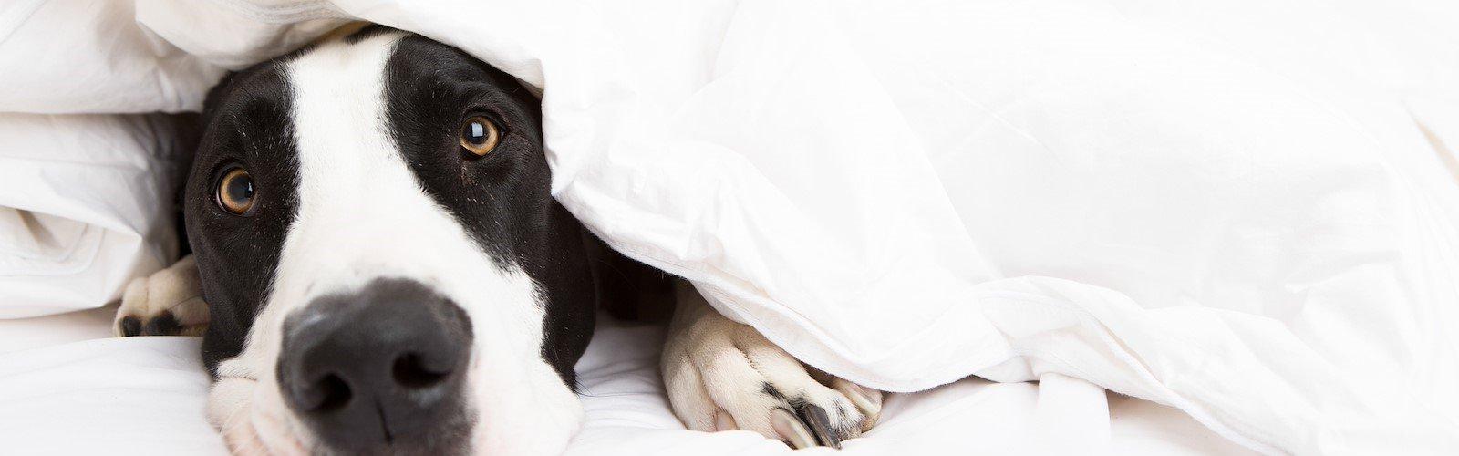 Dog at Pet-Friendly Staybridge Suites Orlando Royale Parc Suites